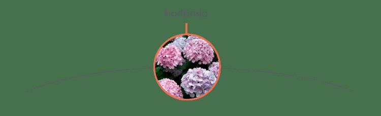 Plantas tóxicas para cães: hortênsia