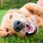 Por que meu cachorro come grama?
