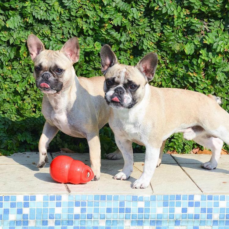 Frenchies Dimi e Calvin