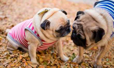 Cruzamento de cachorro: tudo sobre o assunto