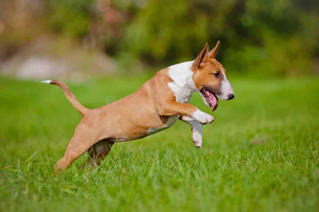 O bull terrier é muito ativo e adora uma aventura