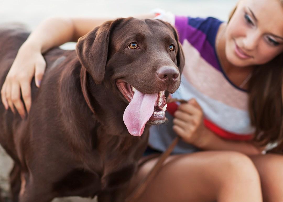 O labrador é o cachorro perfeito para viver em família