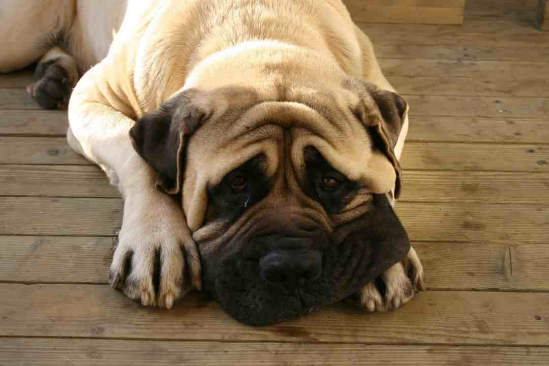 Essa raça também é conhecida como Apolo dos Cachorros ou dinamarquês