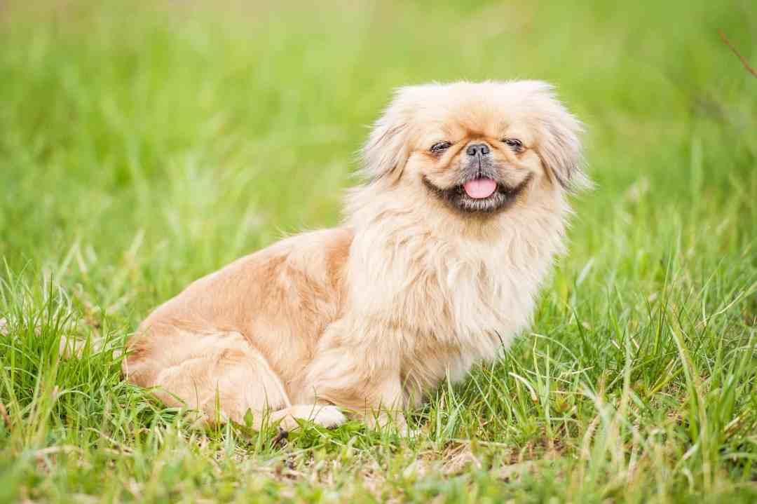 Sua origem, como cão de companhia, entregam: o pequinês ama um bom colo