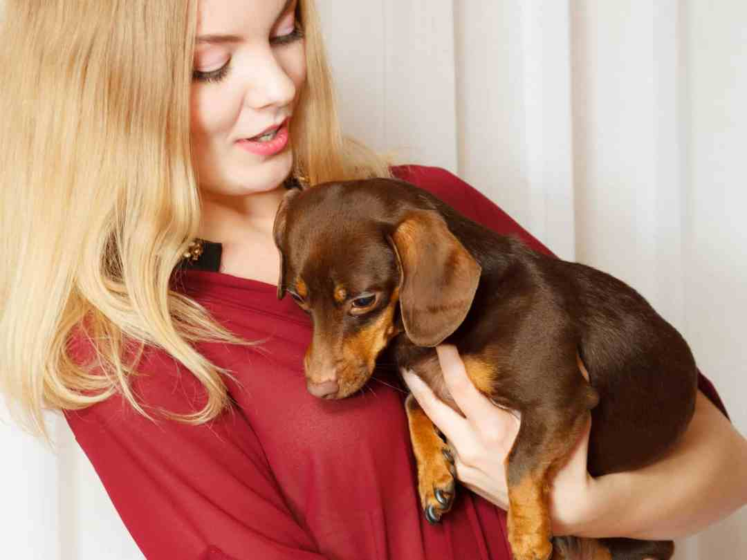 O formato do dachshund é inconfundível