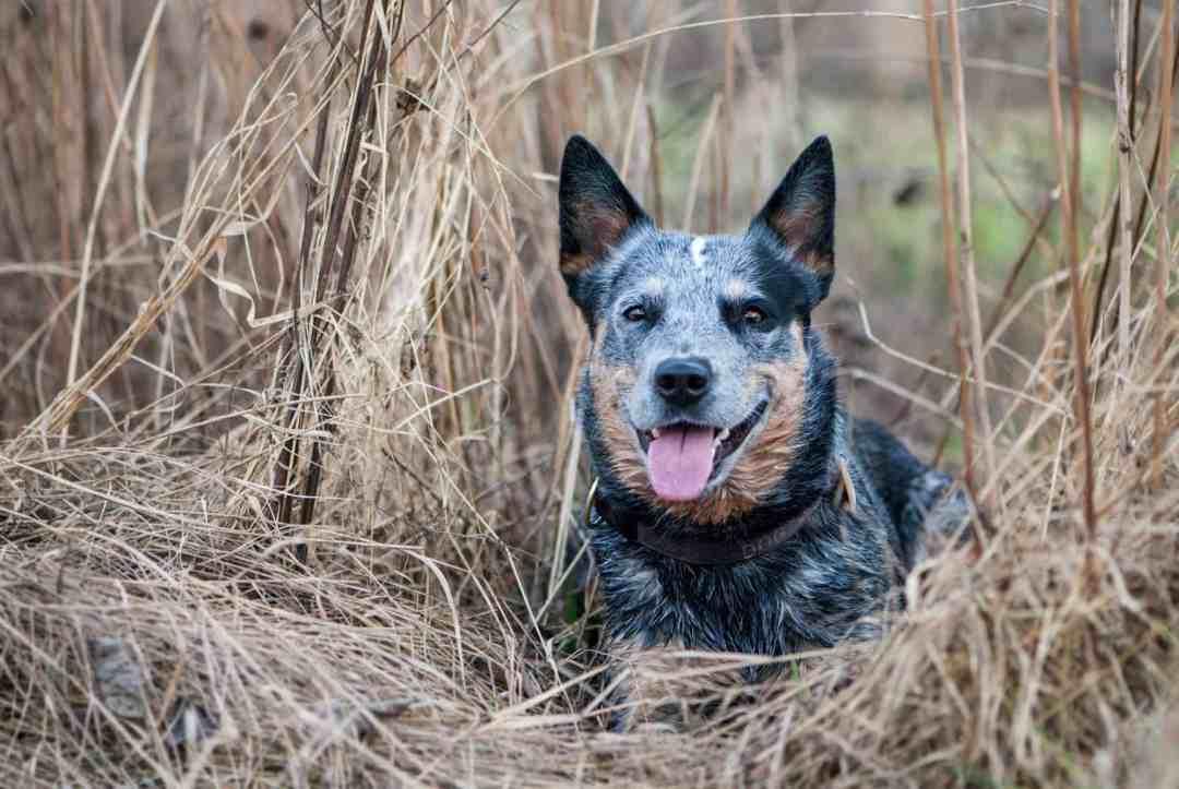 A raça também é conhecida como australian cattle dog e blue heeler