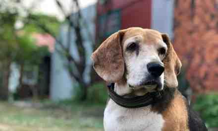 Cachorro com febre: o que fazer?