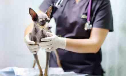 Leishmaniose canina: o que é, sintomas e tratamento