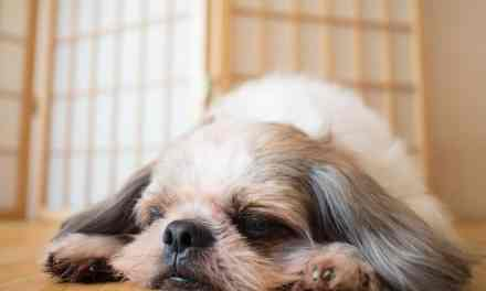 Gripe canina: o que é, sintomas e tratamento