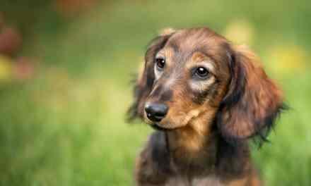 Tudo sobre gestação de cachorro