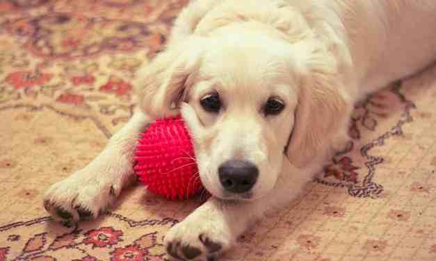 Cachorro chorando: o que fazer?