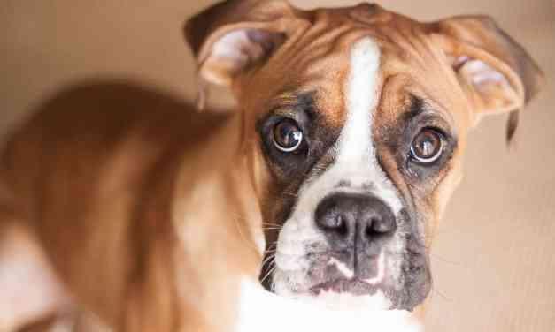 Conjuntivite canina: o que é, sintomas e tratamento