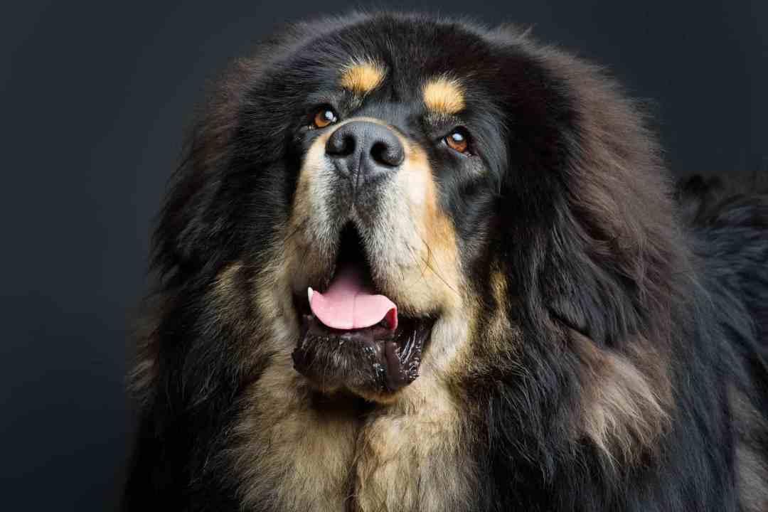 Por ser tão raro, esse cachorro é um dos mais caros do mundo
