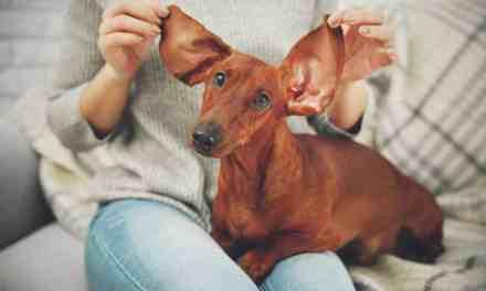 Como limpar a orelha de cachorro?