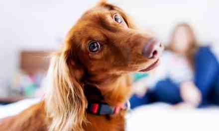Gravidez psicológica em cães: o que é, sintomas e tratamento