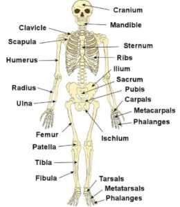 names of bones in human skeleton diagram 7 wire harness system introduction types videos solved questions