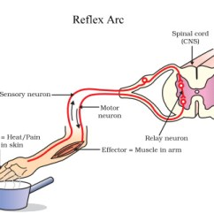 Diagram Of A Simple Reflex Arc Wild Wolf Action And Concepts Solved Questions Videos