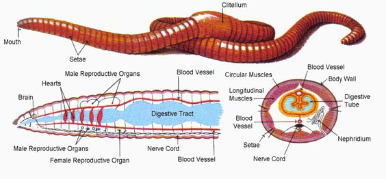 annelida segmented worm diagram 1999 bmw z3 radio wiring earthworm: morphology, body anatomy, concepts, questions and videos