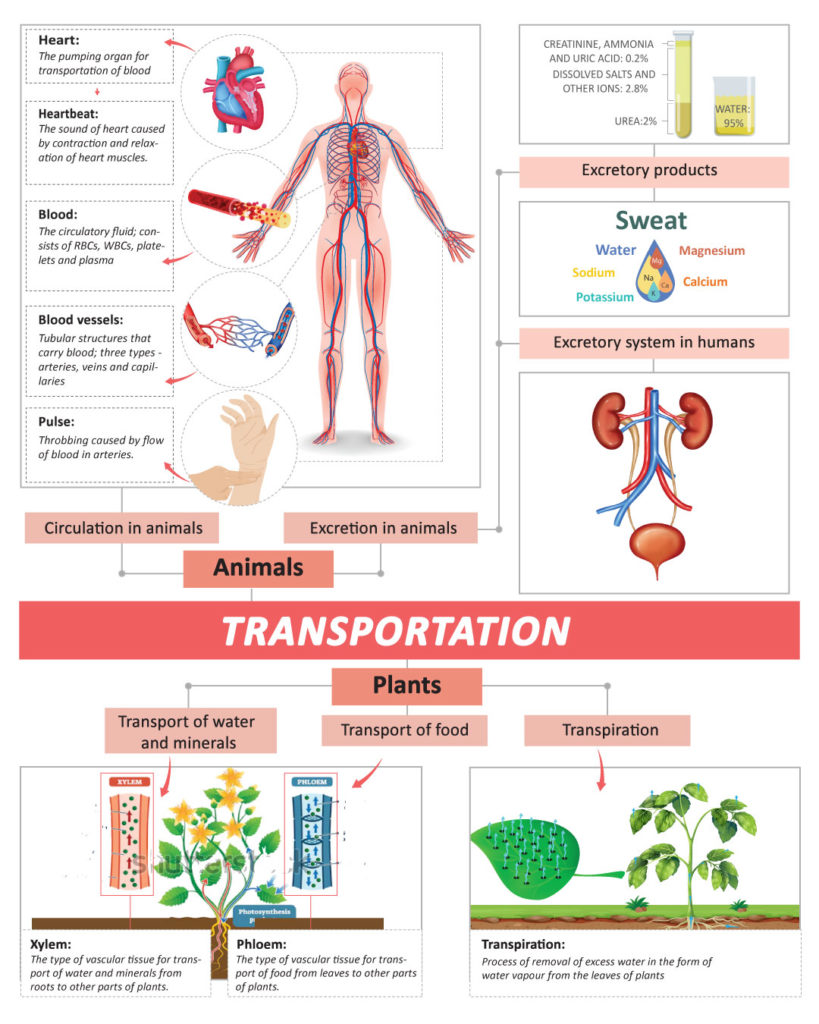 medium resolution of Transportation In Human Beings: Circulatory System