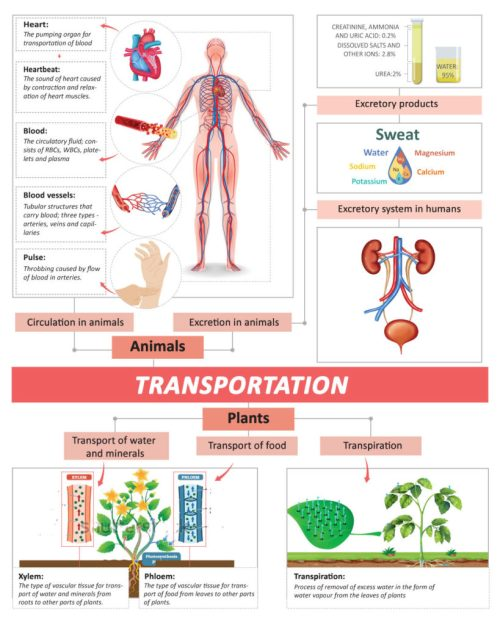 small resolution of Transportation In Human Beings: Circulatory System