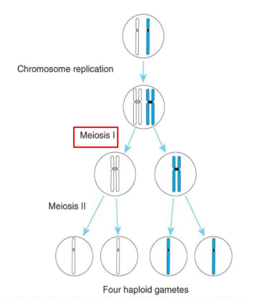 S-11 Meiosis and Mitosis (HB-1 Cellular Function & Medical