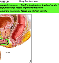 what is the function of buck s fascia deep fascia of penis perineum suspensory ligament of penis deep investing fascia of perineal muscles  [ 1908 x 1104 Pixel ]