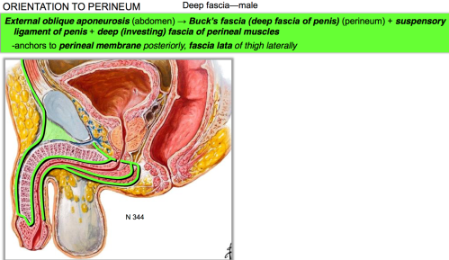 small resolution of what is the function of buck s fascia deep fascia of penis perineum suspensory ligament of penis deep investing fascia of perineal muscles