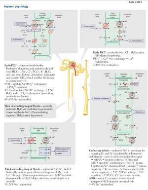 Renal Physiology  Nephron physiology (USMLE Rx 2017