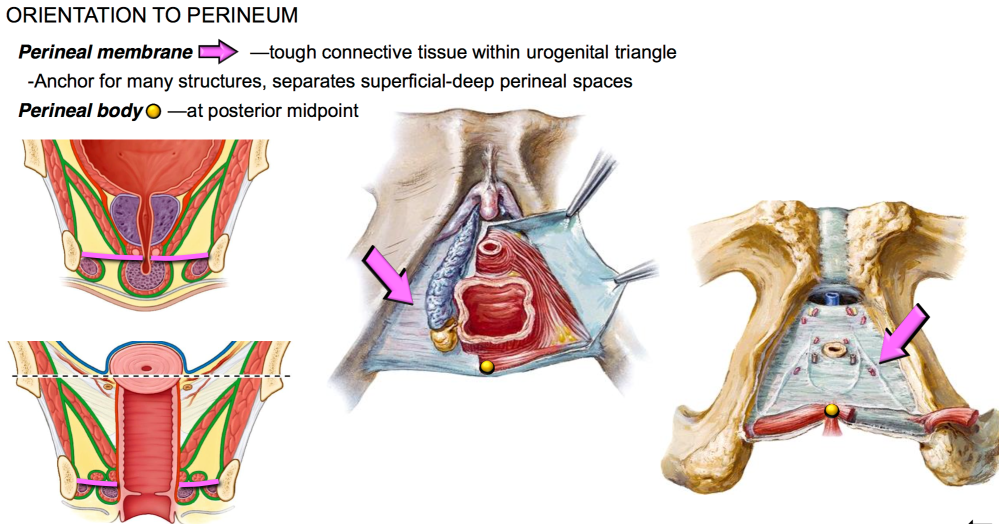 medium resolution of what is the function of the perineal membrane