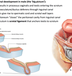 differential growth results in processus vaginalis and testis entering the scrotum [ 2066 x 1274 Pixel ]
