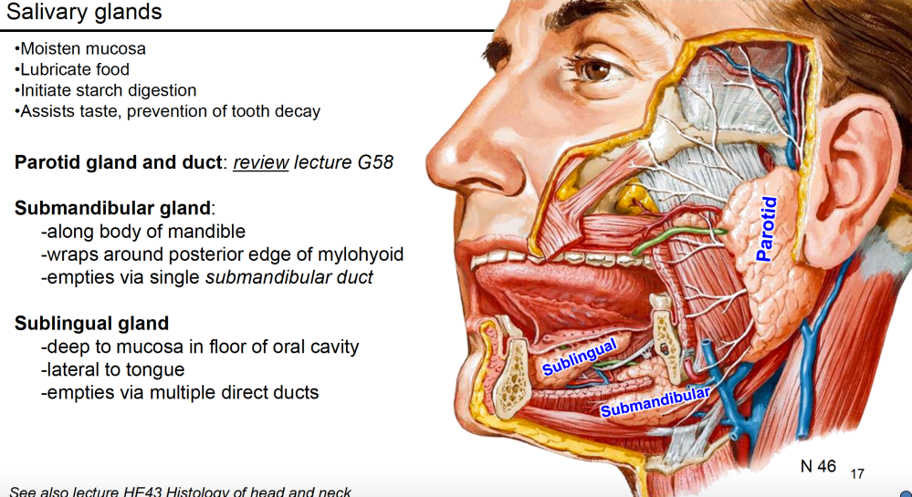 medium resolution of where is the submandibular gland and where does it empty