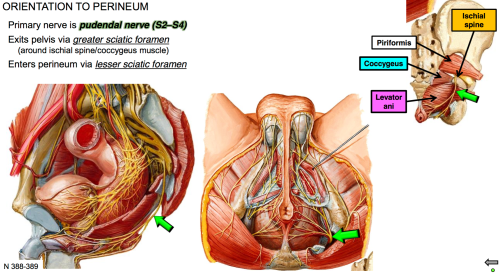small resolution of state the path of the pudendal nerve to enter the perineum