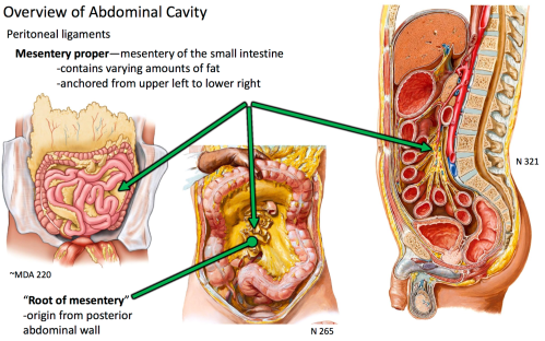 small resolution of origin from posterior abdominal wall