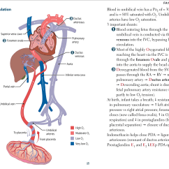 Fetal Heart Diagram Electric Water Heater Element Wiring Cardiovascular Embryology Circulation Flashcards