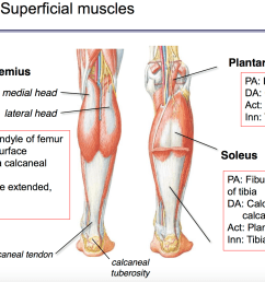 knee flexion innervation tibial n  [ 2364 x 1264 Pixel ]