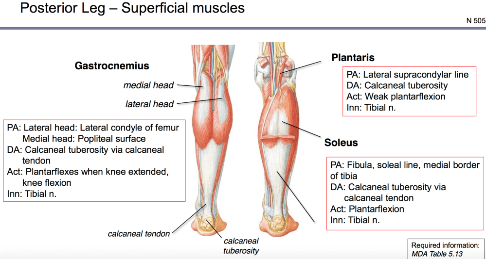 medium resolution of  knee flexion innervation tibial n