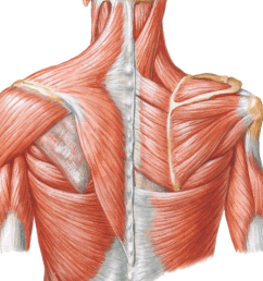 label the diagram with rotator cuff muscles [ 1064 x 1022 Pixel ]