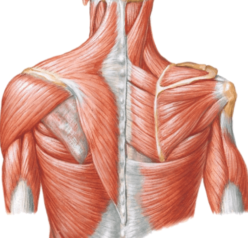 small resolution of label the diagram with rotator cuff muscles