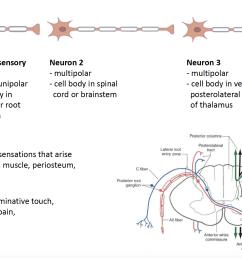 2 neuron in somatosensory pathway [ 2300 x 1158 Pixel ]
