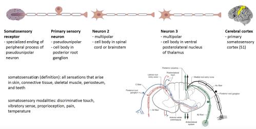 small resolution of 2 neuron in somatosensory pathway
