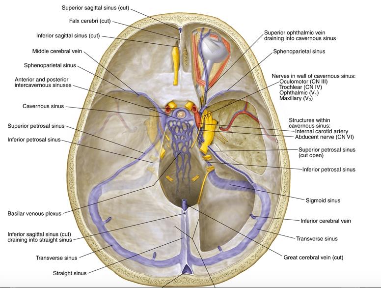 Location Of Nerves In Head Sinus Diagram