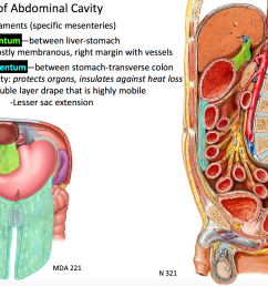 between stomach transverse colon and composed of fat that protects organs and insulates against heat [ 1696 x 1266 Pixel ]
