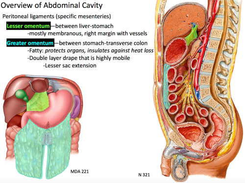 small resolution of between stomach transverse colon and composed of fat that protects organs and insulates against heat