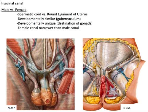 small resolution of male vs female inguinal canal development spermatic cord vs round ligament of uterus