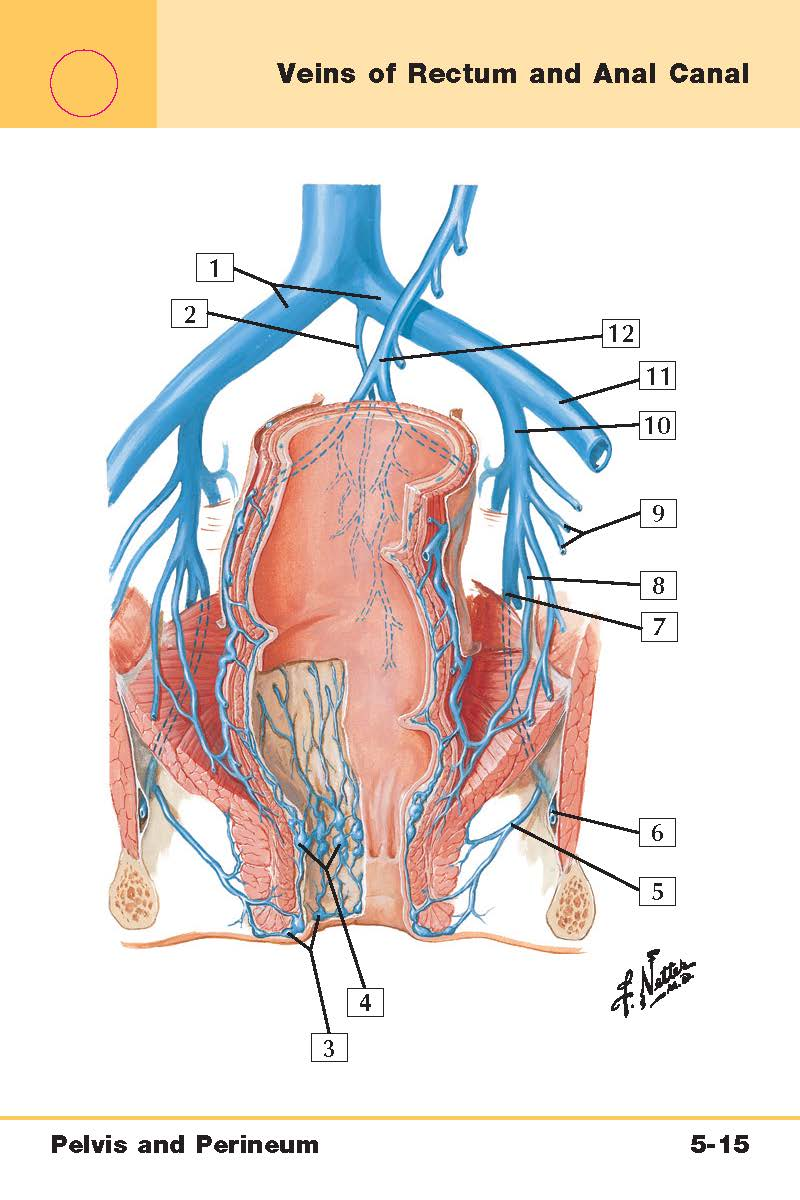 hight resolution of perineum diagram