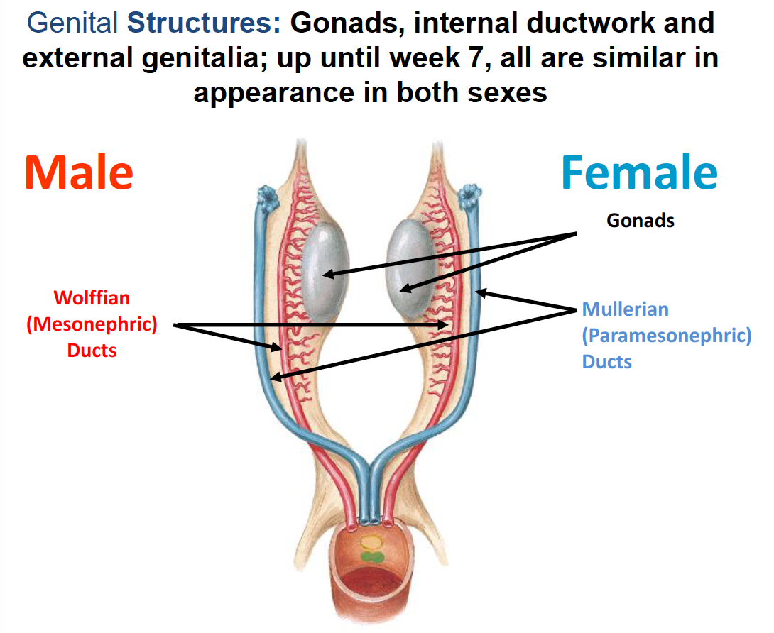 hight resolution of female genital structures