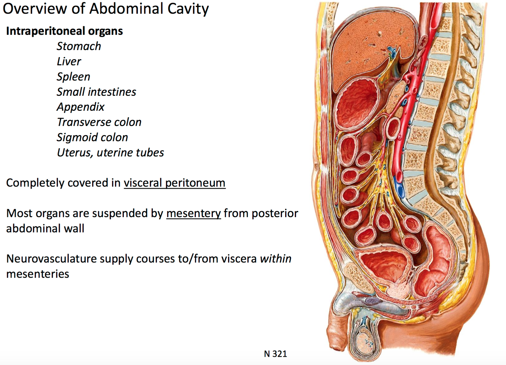 hight resolution of mesentery from posterior abdominal wall