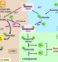 summary diagram of amino acid catabolism  [ 1035 x 776 Pixel ]