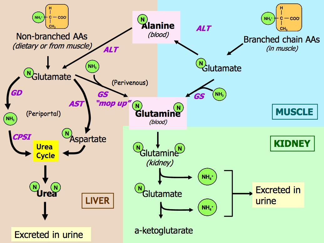 hight resolution of summary diagram of amino acid catabolism