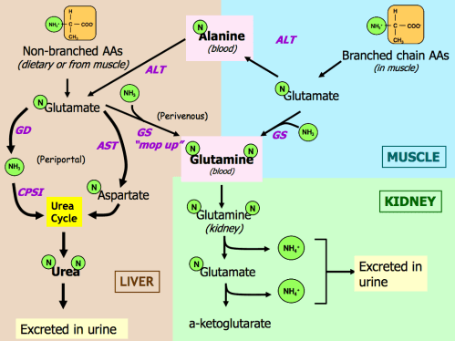 small resolution of summary diagram of amino acid catabolism